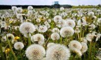 The Dandelion: Taraxacum Officionale