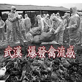 Hundreds of thousands of chickens are slaughtered in Wuhan Province to control the recent bird flu outbreak.   (Sound of Hope)