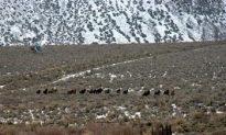 Activists Object to Nevada Wild Horse Roundup