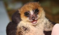 Lice Reveal Elusive Lemurs' Social Networking Patterns