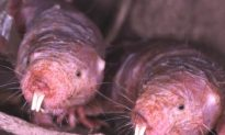 Naked Mole Rats Could Hold Key to Being Cancer-Free