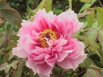 A peony blossom, the flower of the city of Luoyang. (Li Gujun/Epoch Times)