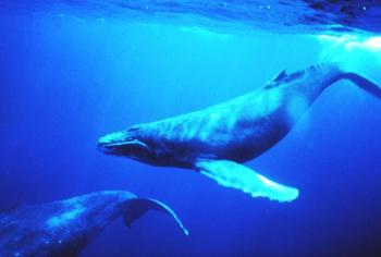 HUMPBACK WHALE: A recent study documented how songs spread across different humpback whale populations. (Dr. Louis M. Herman/National Oceanic and Atmospheric Administration)