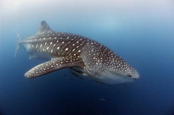 HUNTED: The whale shark, the world's largest shark and fish species, is now a luxury meat item, according to the United National Environment Program (UNEP).  (Scott Tuason/GETTY IMAGES)