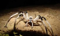 Discovery of a New Spider Raises Concern for Preservation