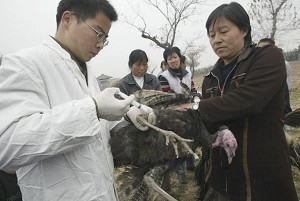 A veterinarian injects bird flu vaccine to a turkey at the Xian Qinling Mountain Wild Animal Zoo on November 10, 2005 in Xian of Shaanxi Province, China. (China Photos/Getty Images)