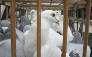 Doves and pigeons for sale at a bird market in Chengdu of Sichuan Province, China. The government reported the seventh outbreak since last month, and the fourth in Liaoning province. (China Photos/Getty Images)