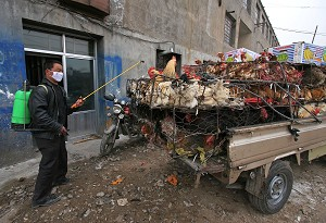 XINING, CHINA: A health worker disinfects a farm truck loaded with chickens at a poultry wholesale market on November 14, 2005 in Xining of Qianghai Province, China. (China Photos/Getty Images)