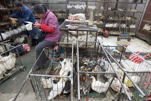 A vendor sells ducks at a market on October 24, 2005 in Urumqi of Xinjiang Uygur Autonomous Region, China. The Chinese Ministry of Agriculture announced that two large-scale bird flu outbreaks occurred in Urumuqi and Zepu counties of the region. (China Photos/Getty Images)