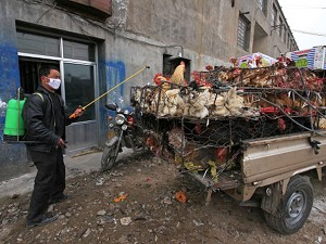 Over the past month, China has reported 11 outbreaks of the H5N1 bird flu. (Getty Images)