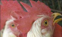 Bird Flu Whistle-Blower Arrested