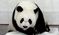Double Happiness as Panda Gives Birth to Twins