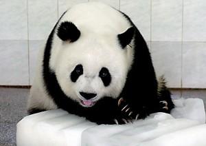 A giant panda cools herself off in Fuzhou, in China&#039s southeaster Fujian province. (AFP)
