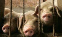 Media Blackout as Pig-Borne Disease Spreads
