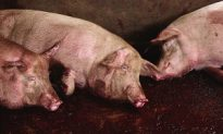 Pig Disease Toll Increases to 39