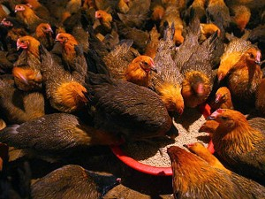 Chickens eat feed at a poultry wholesale market in Ningbo, Zhejiang Province, China. (China Photos/Getty Images)
