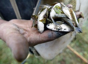 Villager Yin Jiqiu, showing small fish he caught from a stream branching off from Dongting Lake, on October 31, 2004. (Frederic J. Brown/AFP/Getty Images)
