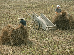 Two farmers load rice straw onto a tricycle in a field in Yugan County of Jiangxi Province, China. (China Photos/Getty Images)