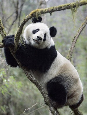 Six-year-old Panda 'Xiang Xiang' found dead after being reintroduced into the wild a year ago. (Liu Jun/AFP)