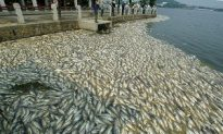 Pollution Causes Sudden Death of 100,000 Kilograms of Fish in Wuhan