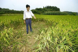 Rats ate a huge hole in this rice field in Binhu Village, Hunan Province. (Photo from Internet)