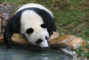 A giant panda.  (AFP/Getty Images)