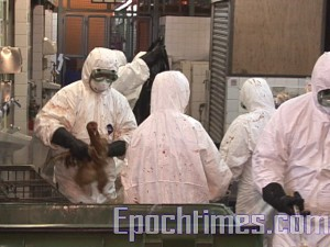 H5N1 Avian Flu Virus Found in Three feces samples in Hong Kong. (The Epoch Times)
