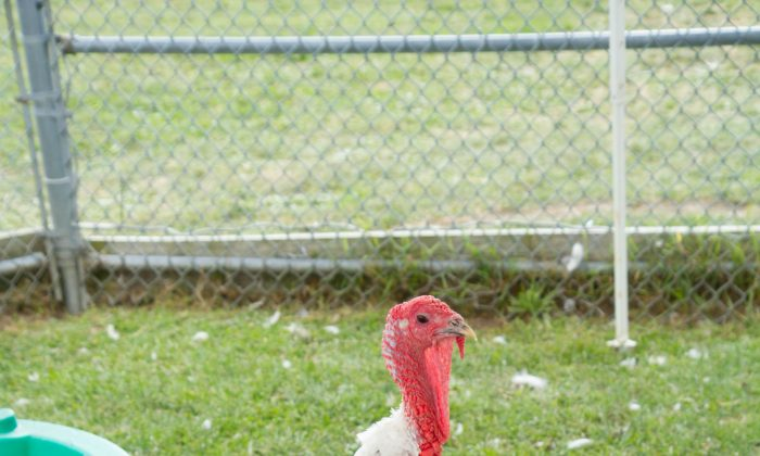 A turkey at the Otisville Country Fair on Aug. 23, 2015. (Holly Kellum/Epoch Times)