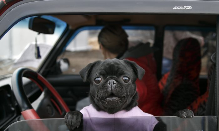 A small dog peers from a car at an Ukrainian army checkpoint near Kurakhove, Ukraine, Tuesday, March 3, 2015 on a road leading to Russia-backed separatists held territory. (AP Photo/Vadim Ghirda)