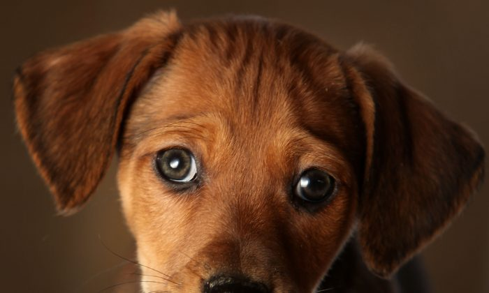 A puppy in a file photo. (Christopher Furlong/Getty Images)