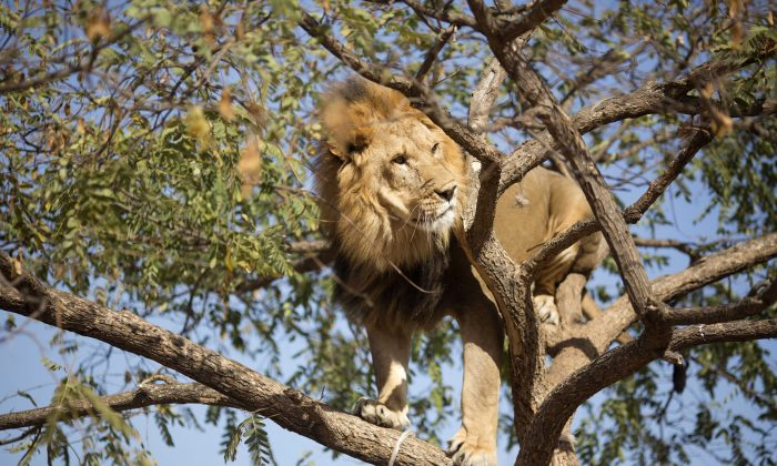Salam, 5, an African lion, stands on the branches of a tree at the Ramt Gan safari near Tel Aviv, Israel, Tuesday, Nov. 26, 2013. Tree-climbing lions are relatively uncommon and are best known for their populations in Uganda's Queen Elizabeth National Park and Tanzania's Lake Manyara national Park. (AP Photo/Ariel Schalit)