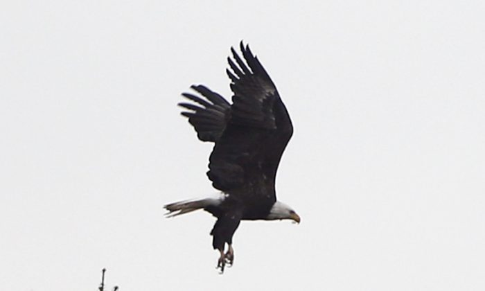A bald eagle takes flight from a tree on Thursday, Nov. 6, 2014, in Schodack, N.Y. (AP Photo/Mike Groll)
