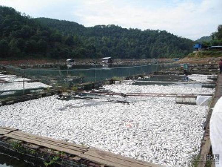 The stench from dead fish can be smelled from miles away. (Chinese blogger)