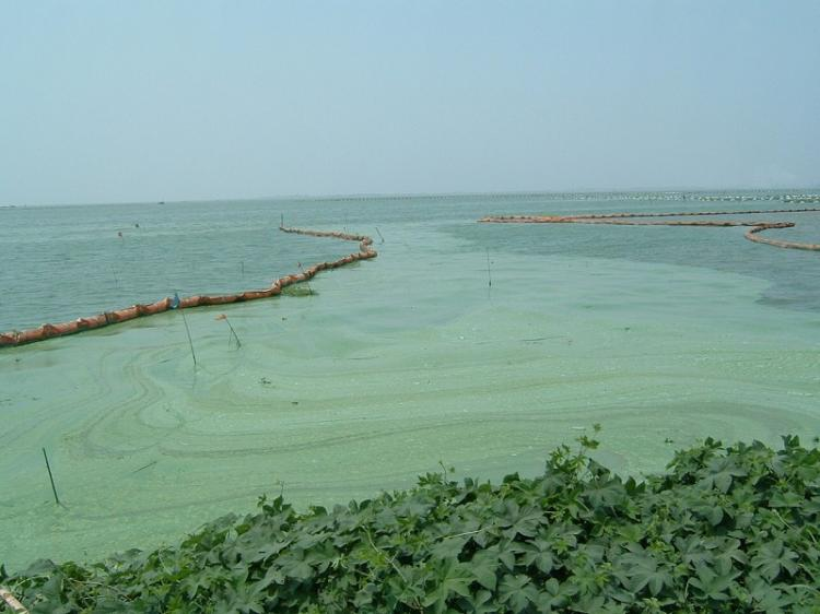 Blue-green algae contamination in Taihu Lake in August. (By Wu Lihong/EpochTimes)