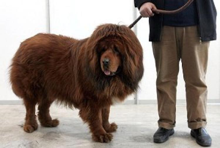 The Tibetan Mastiff is believed to be the only ancient breed to have not changed its environment over time. It is one of the most ancient, rare, and ferocious large dogs of the world. It originated from Tibet and the Tibetan-speaking areas of Qinghai Province. (Photo by Guang Niu/Getty Images)