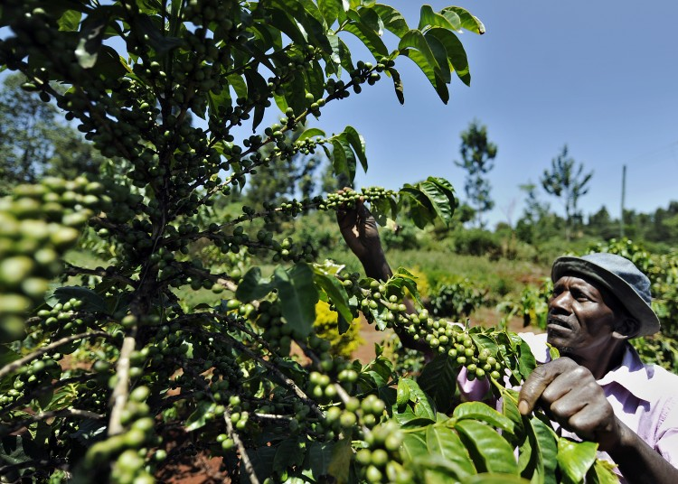 A Kenyan man tends to a coffee tree in Kabati, Kenya in February 2011. (Tony Karumba/AFP/Getty Images)