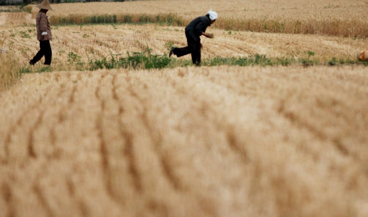 Farm workers glean wheat in a field on May 29, in Huaibei, Anhui Province of China. According to a scholar from the Chinese Academy of Agricultural Engineering, one-sixth of China's farmland are contaminated by heavy metals.  (ChinaFotoPress/Getty Images)
