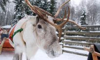 Rare White Reindeer Calf Appears in Snowy Northern Norway
