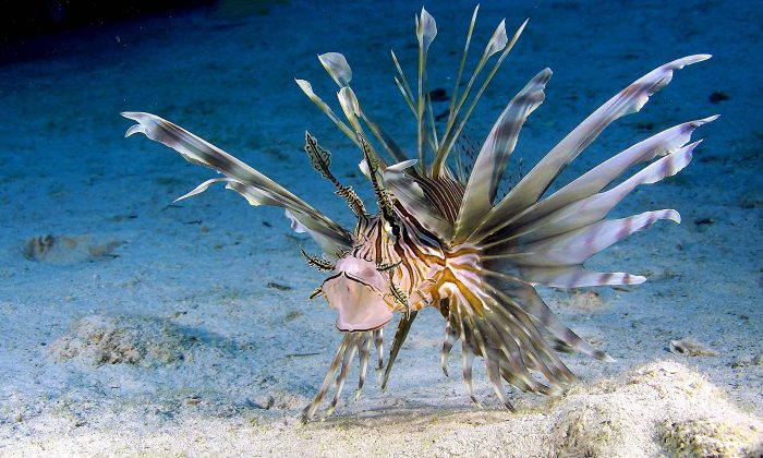 The red lionfish has venomous dorsal fins on its spine and elegant fan-like fins that make it a speedy hunter. (3D Entertainment Films)