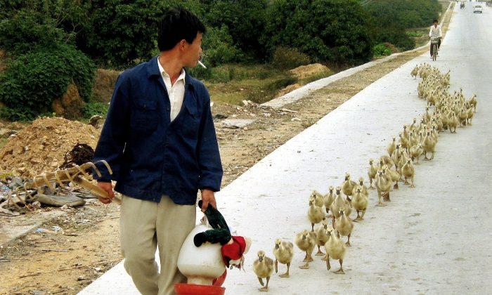 A man walks his goose chicks in Taiping, China, March 16, 2004. (AP Photo/Eugene Hoshiko)