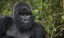 Zoo Director: I 'Would Make the Same Decision' Again to Kill the Gorilla