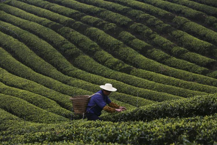A farmer picks tea leaves in the outskirts of Chongqing Municipality, China. The tea producing peak falls on spring days around the end of March and early April when many tea factories have to operate at full capacity. (China Photos/Getty Images)