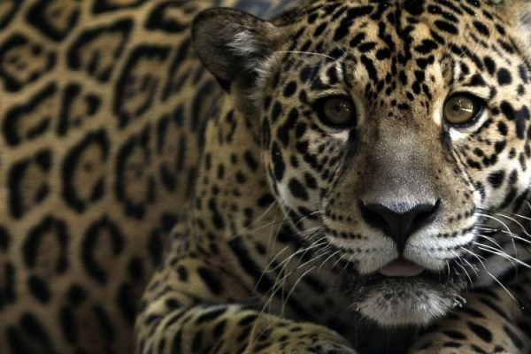 Woman mauled by jaguar while taking a selfie apologizes to zoo