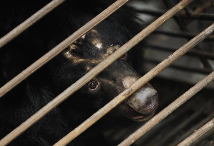 A rescued moon bear peers out of a cage at the Animals Asia Moon Bear Rescue Centre on the outskirts of Chengdu in China's southwestern province of Sichuan, on February 6, 2009.  (Peter Parks/AFP/Getty Images)
