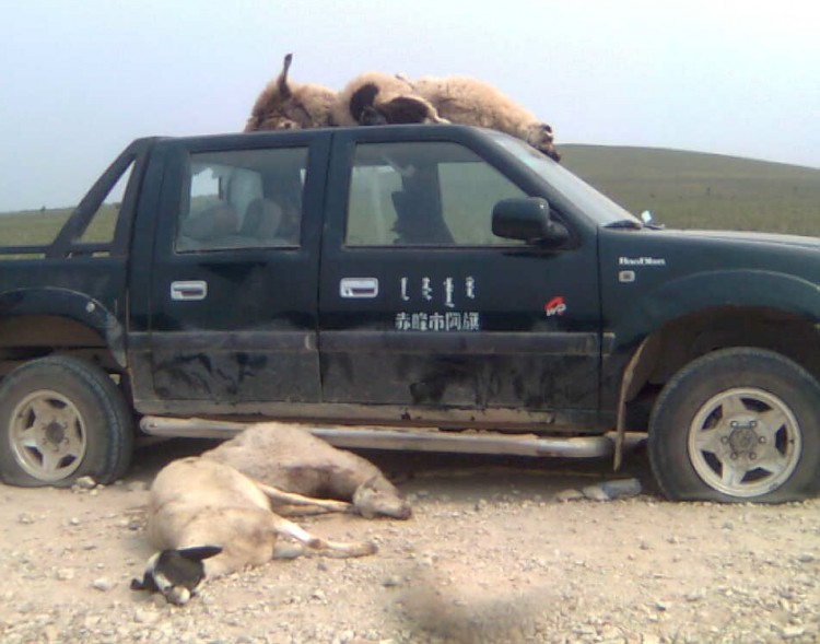 More than 30 sheep were killed by Chinese hired by a businessman who wanted to take over the land of herders, according to a rights group. (Southern Mongolia Human Rights Information Center)