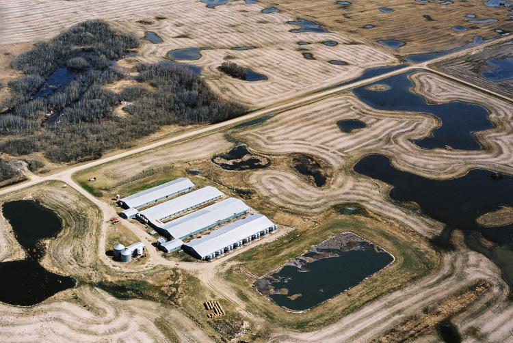 An aerial view of a hog confinement operation in Saskatchewan. Such facilities typically consist of a sow barn containing an average of 5,000 sows, a nursery barn with about 19,000 piglets, and a finishing barn with 12,000 to 14,000 pigs. Phosphorus pollu (Cathy Holtslander)
