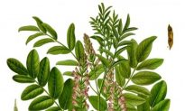 Liquorice — the Grandfather of Herbs