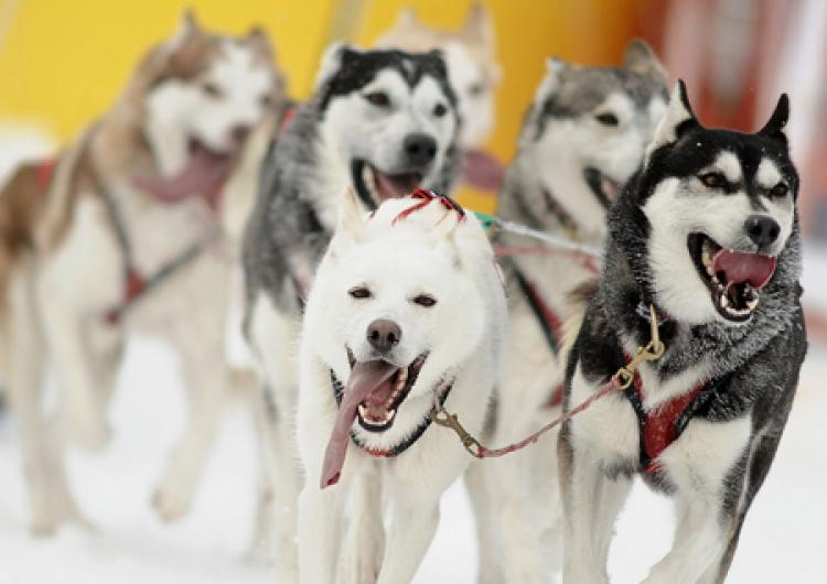 SLED DOGS: Siberian Husky sled dogs. Facebook pages, websites, and blogs have sprung up condemning the killing of 100 sled dogs to downsize a tour dog sled tour company in the resort town of Whistler, about 60 miles north of Vancouver.  (Joe Klamar /Getty Images)