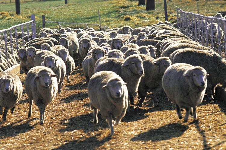 Do governments officials wish the United States to be a nation of sheep? Herd immunity doesn't apply to vaccines.  (Photos.com)