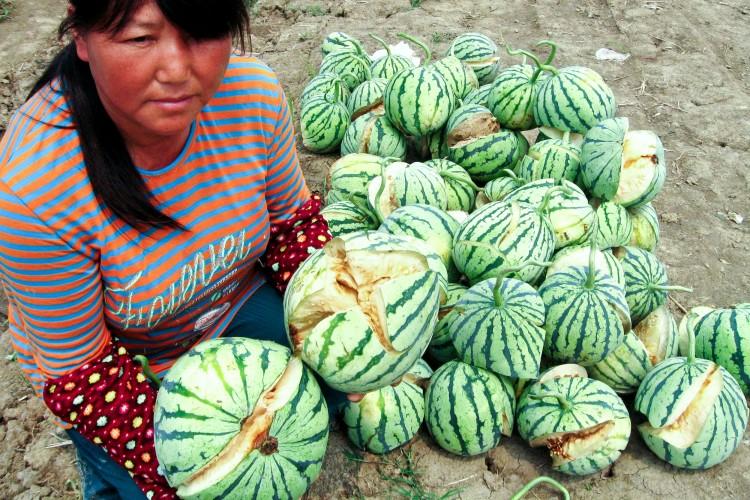 Split-open, unripened watermelons on May 13 in Yanling Township, Danyang City, Jiangsu Province. (Epoch Times Photo Archive)